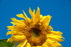 Sunflower against the blue sky Royalty Free Stock Photography