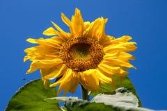 Sunflower against the blue sky Stock Photos