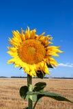 Sunflower against the blue sky Royalty Free Stock Photos