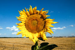 Sunflower against the blue sky Royalty Free Stock Images