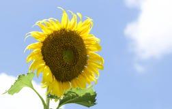 Sunflower against blue sky Stock Photos