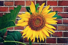 Sunflower against brick wall Stock Image