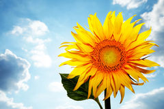Sunflower against a bright cloudy sky. Picture of a sunflower against a bright cloudy sky Stock Photo