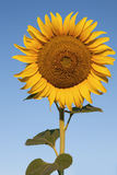 Sunflower against a crystal clear blue sky 2 Stock Photo