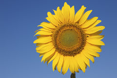 Sunflower against a crystal clear blue sky Royalty Free Stock Images