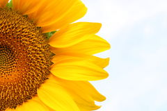Sunflower. Against light blue sky Royalty Free Stock Photo