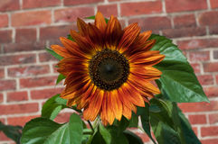 Sunflower against old brick wall. A summer day Royalty Free Stock Photography