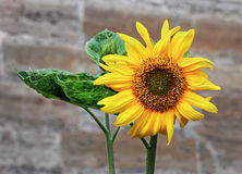 Sunflower against old brick wall Stock Image