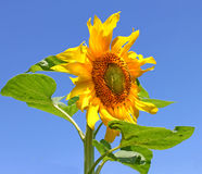 Sunflower against the sky. Sunflower against the blue sky Stock Images