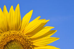 Sunflower against a sky background Stock Image