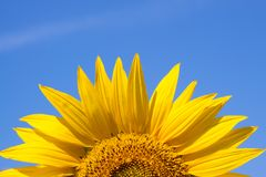 Sunflower against a sky background Royalty Free Stock Photo