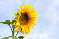 Sunflower against the sky. Sunflower against the blue sky Royalty Free Stock Images