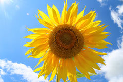 Sunflower against the sky. Sunflower against the blue sky Stock Photography