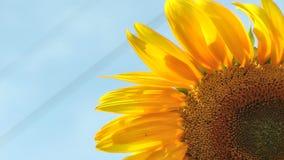 Sunflower against sky stock footage