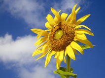 Sunflower Against Sky Royalty Free Stock Images