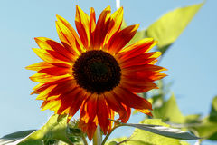 Sunflower against the sun Royalty Free Stock Photography