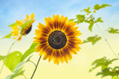 Sunflower against sunny sky Royalty Free Stock Image