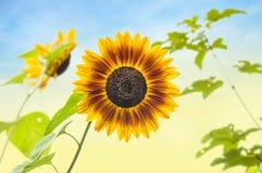 Sunflower against sunny sky Royalty Free Stock Image