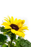 Sunflower against a white background Royalty Free Stock Photo