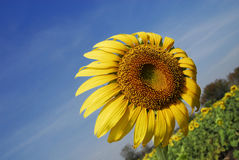 Sunflower against the wind Royalty Free Stock Photos