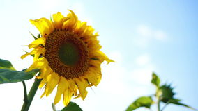 Sunflower agricultural field in sunset. Royalty Free Stock Photo