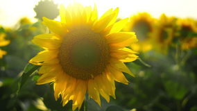 Sunflower agricultural field in sunset. Stock Photos