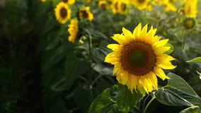 Sunflower agricultural field in sunset. stock footage