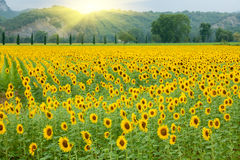 Sunflower agriculture Royalty Free Stock Images