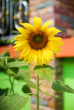 Sunflower. Agriculture, beauty, blossom, bright, cheerful, color, colorful, cultivated, daisy, day, environment, flower, fresh, freshness, golden, green, growth Royalty Free Stock Photos