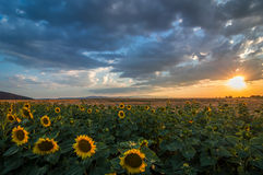 Sunflower. Agriculture in Sofia province Stock Image