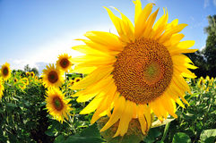 Sunflower agriculture Royalty Free Stock Photography