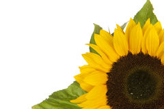 Sunflower, alias Helianthus annuus, in corner Royalty Free Stock Image