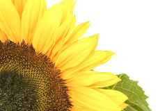 Sunflower, alias Helianthus annuus, in corner Royalty Free Stock Images
