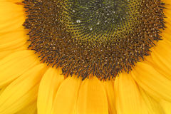Sunflower, alias Helianthus annuus, sliced halfway Royalty Free Stock Photography