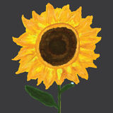 Sunflower alone dew. Illustration abstract alone sunflower alone dew grey color background painting graphic design Royalty Free Stock Photos