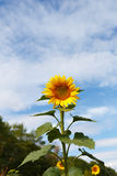 Sunflower alone in the field Stock Image