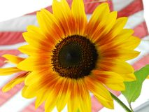 Sunflower with American flag Stock Photography