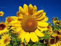 Sunflower Amongst Many. Sunflower in a field of sunflowers Royalty Free Stock Photo