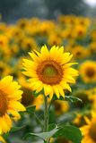Sunflower in full bloom in field of sunflowers Stock Photography