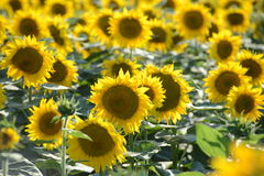 Sunflower Amongst Many Royalty Free Stock Photo