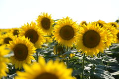 Sunflower Amongst Many Royalty Free Stock Photography