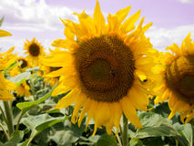 Sunflower Amongst Many Royalty Free Stock Image