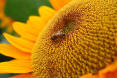 Free Sunflower And Bee Stock Photography - 18298422