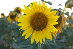 Sunflower in andalusia Royalty Free Stock Photos