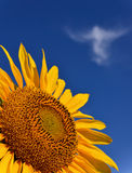 Sunflower With Angel Cloud Royalty Free Stock Photos