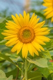 Sunflower. The sunflower is an annual plant in the family Asteraceae, with large flower head Royalty Free Stock Photo