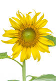 Sunflower. The sunflower is an annual plant in the family Asteraceae, with large flower head Royalty Free Stock Photography