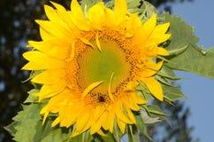 The sunflower Stock Photos