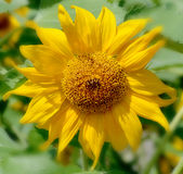 The sunflower Stock Images