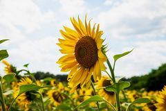 Sunflower annual on a sunny day in the field royalty free stock images